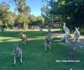 【西澳漫漫】~4~袋鼠袋熊無尾熊,三個願望一次滿足