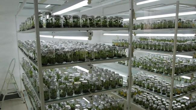 Ett av målen för 2017 är att komma igång med fullskalig odling av fröplantor i laboratoriemiljö. Foto: Jonatan Westman