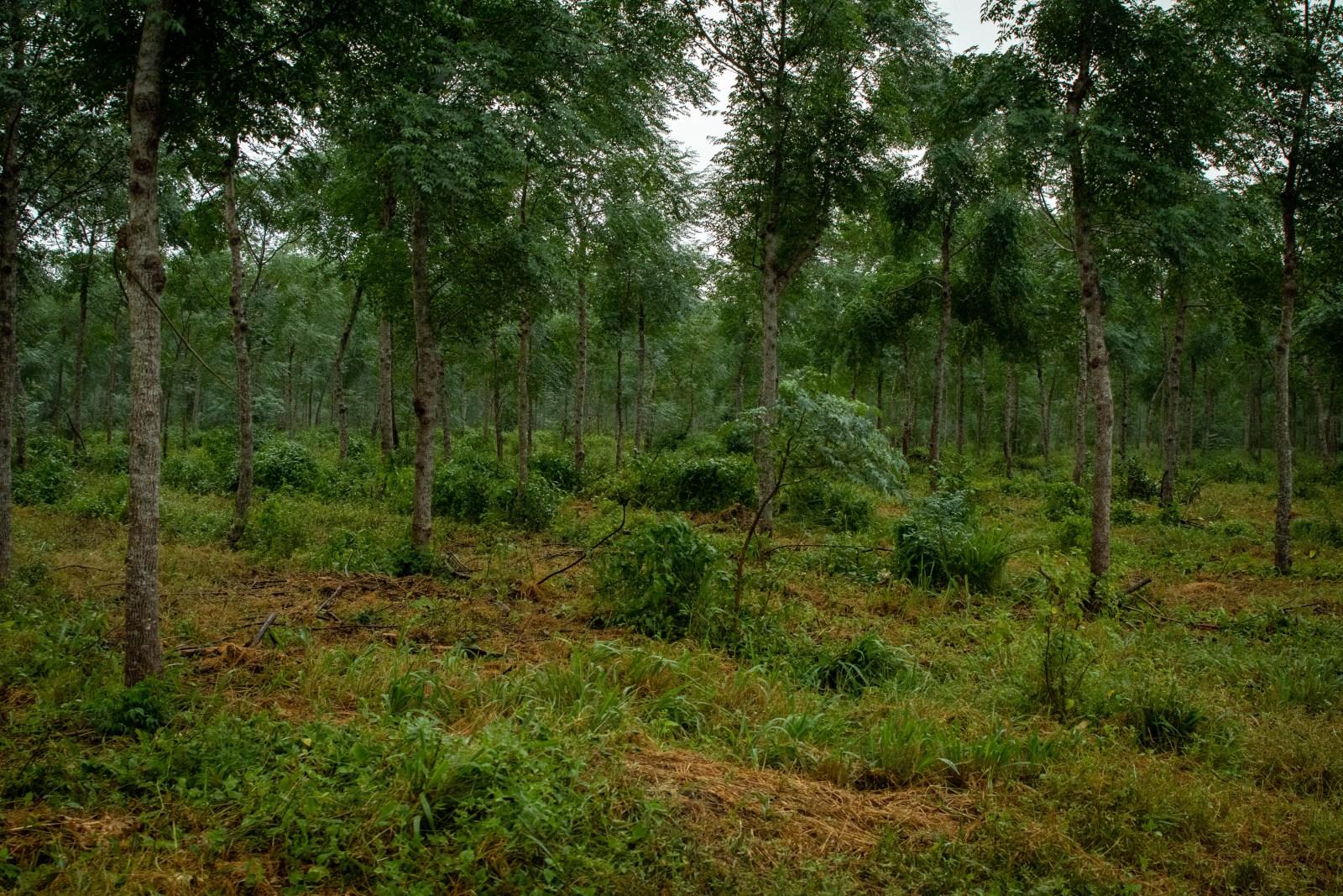 Foto taget när vi körde genom plantagen