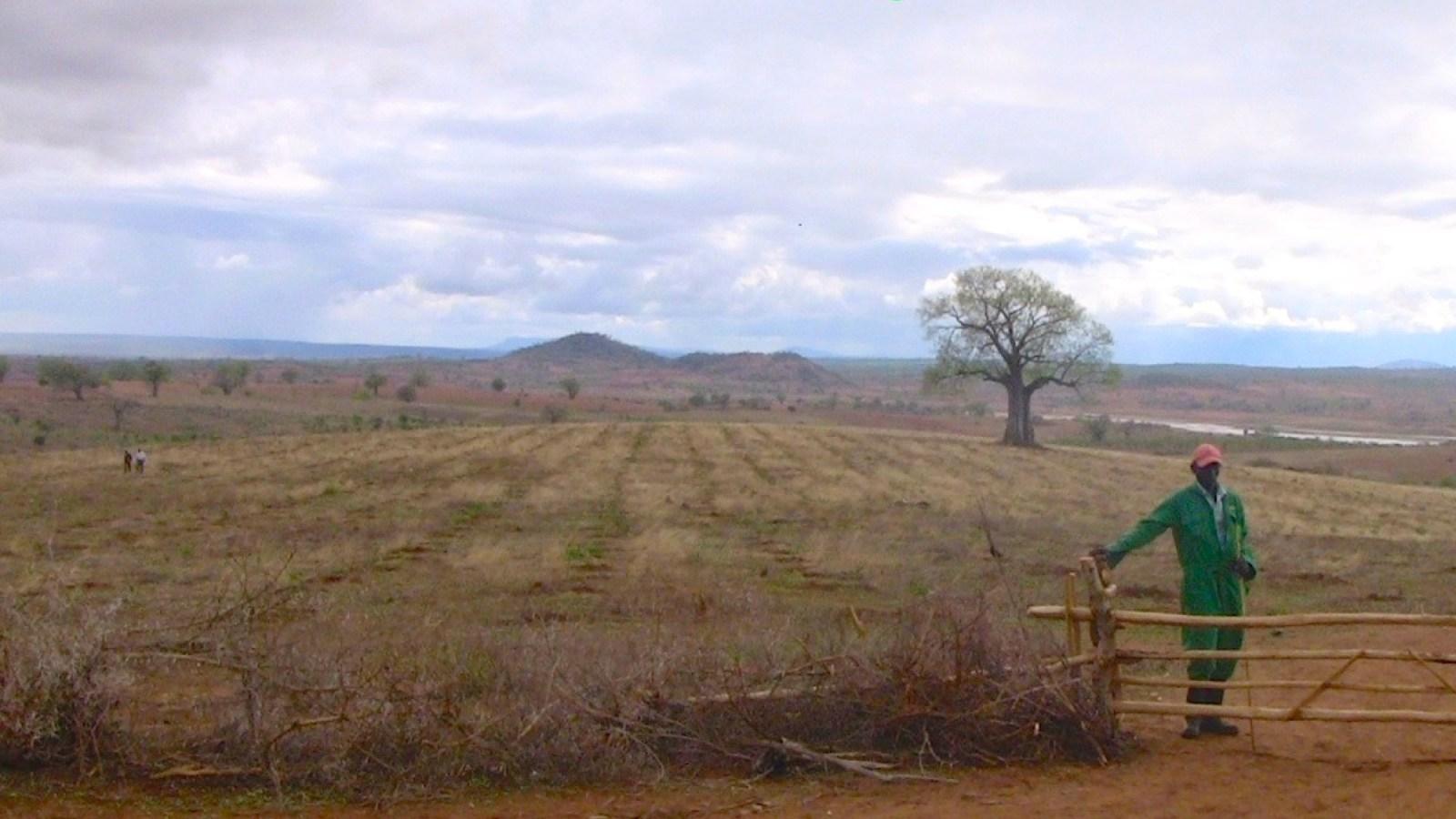 Infarten till Kiambere-plantagen, oktober 2011. Nyplanterade Mukau-träd.