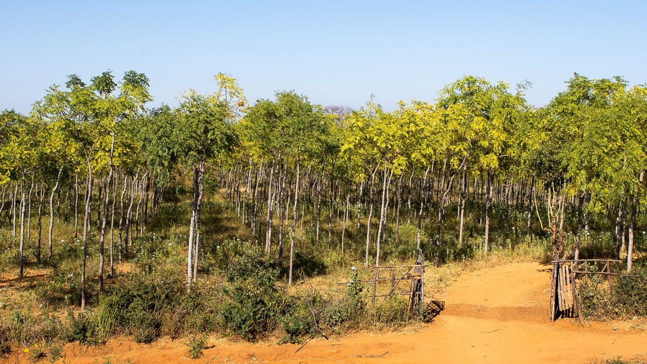 Infarten till Kiambere-plantagen, juli 2018. Mukau-träden är nu ca 7 år gamla.