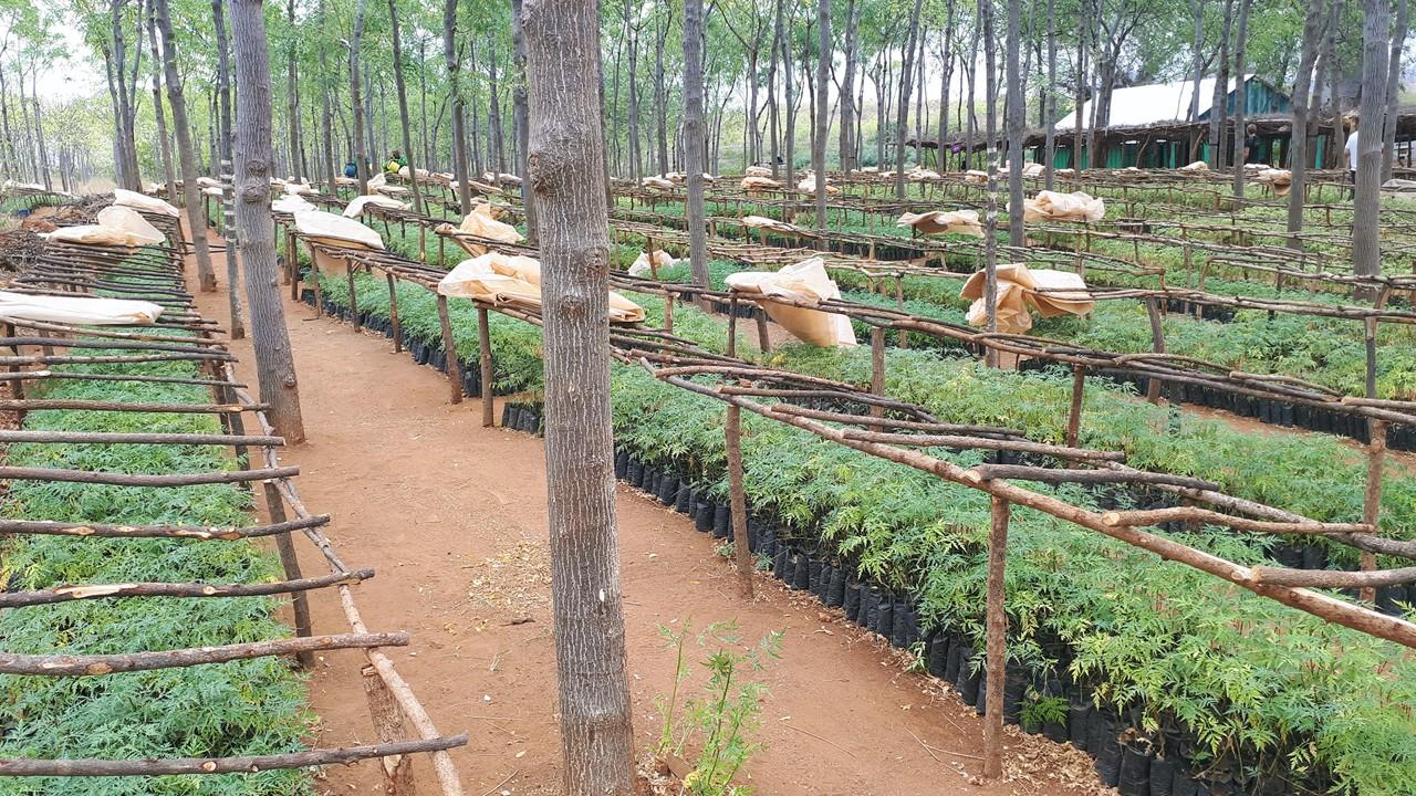 Idag är kapaciteten 1 200 000 plantor per säsong. Från Kiambere försörjer man flera tusen partner-bönder med plantor i 7Forks-området.