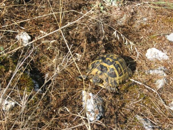 Farlig skildpadde