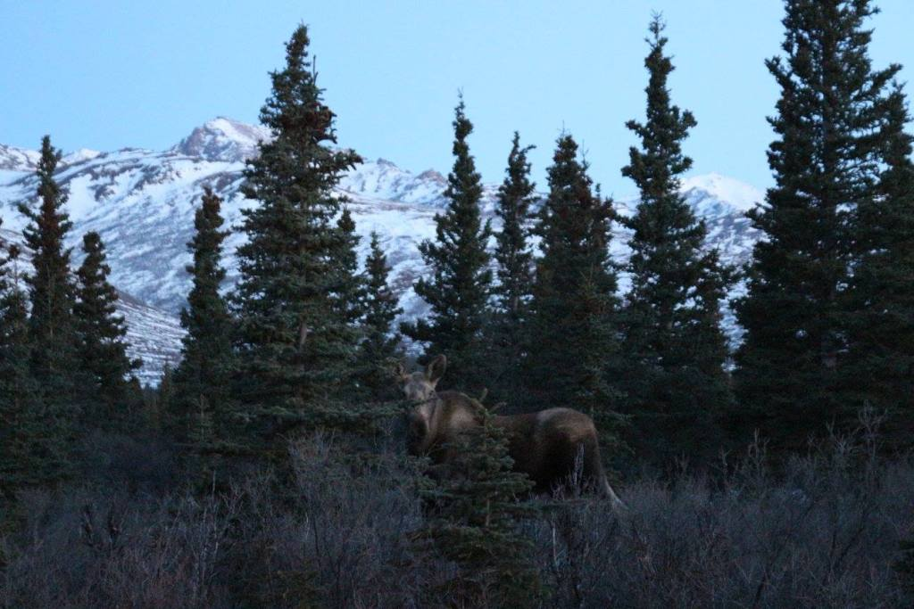 A moose down the street from our lodge in Healy, Alaska