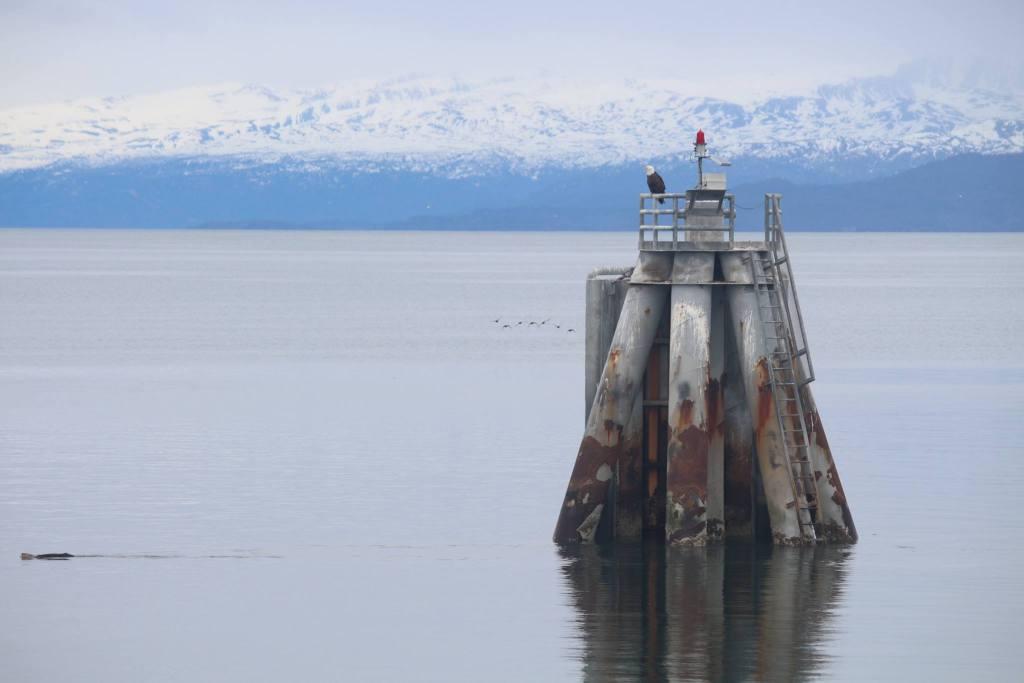 A bald eagle, sea otter, and gulls off the coast of Homer, Alaska