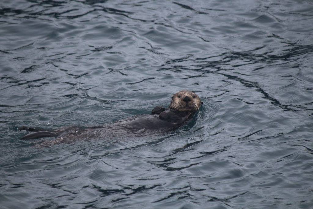 A sea otter swims next to our boat