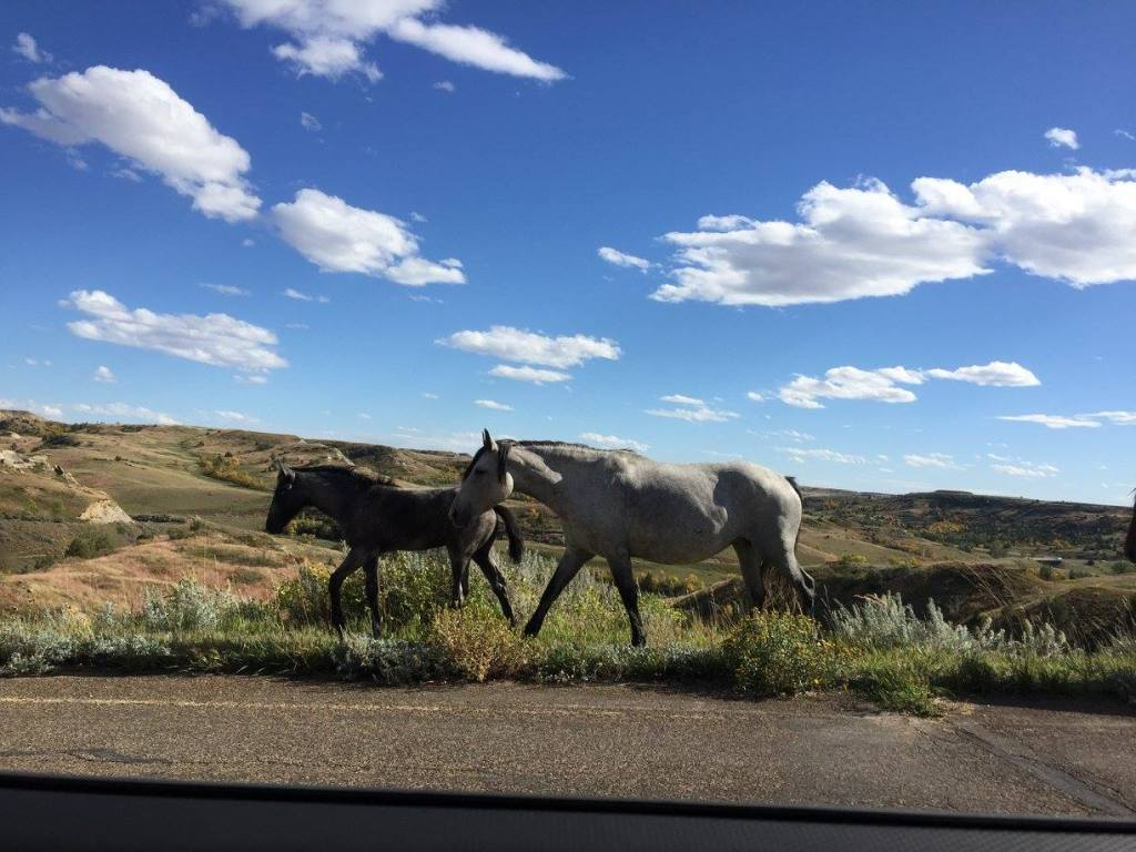 Wild horses in Theodore Roosevelt National Park run along the Park Road