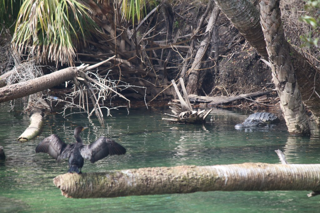 A cormorant suns its wings while an alligator rests onshore