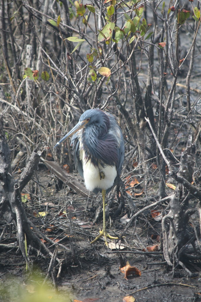 A Tri-colored heron wakes up from a nap