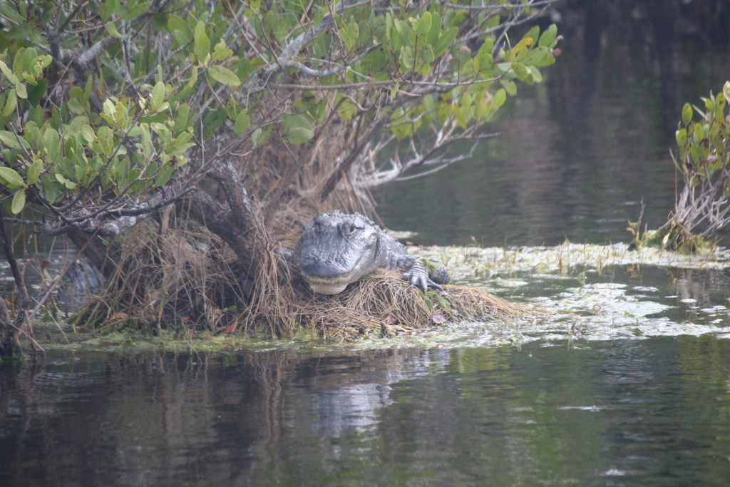My favorite alligator we saw on the drive, looking like it's smiling as it relaxes