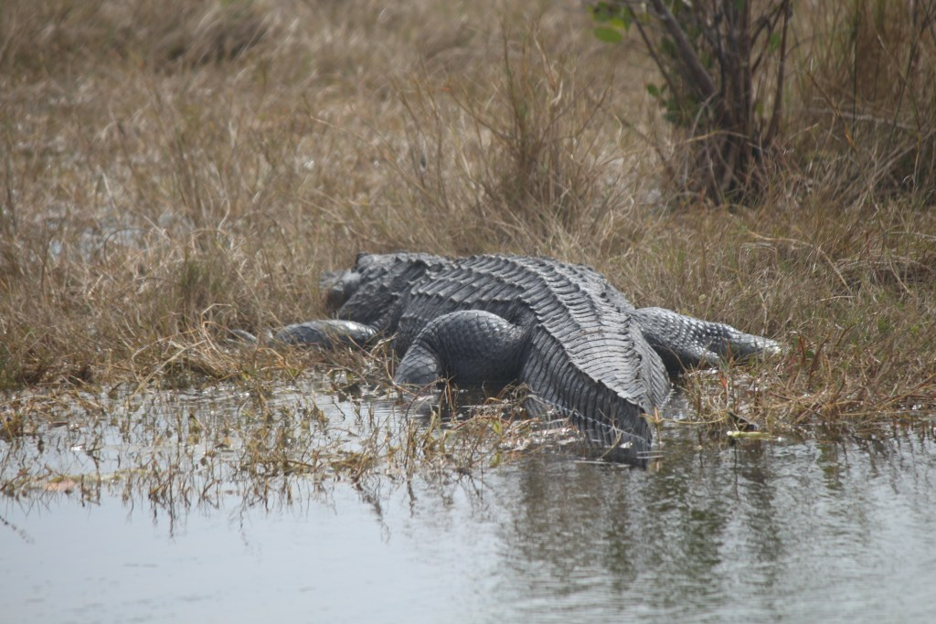 A zoomed-in view of an enormous alligator
