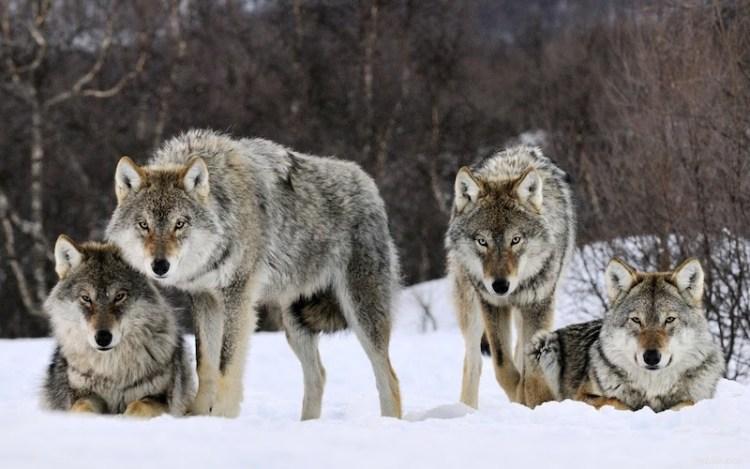 Una realidad llena de lobos