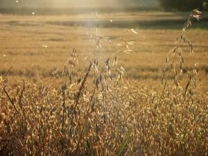 Felder voller Gold