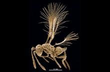 Tinkerbella nana - një nga insektet më të vogla të gjetura ndonjëherë nga njeriu. (Jennifer Read)