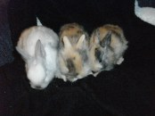 Snowball, Sweety and Browny