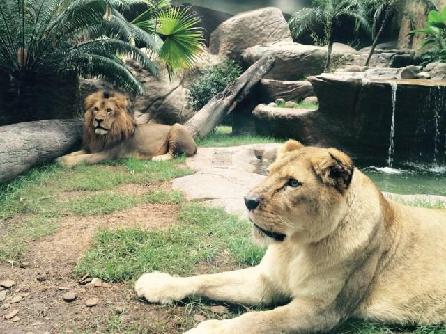 Os Leões já em uma parte revitalizada