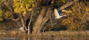 Morning Takeoff Below the Cottonwood, Photo by Ed MacKerrow