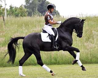 003 everdale kwpn dutch warmblood stallion hilltop farm 1 Everdance RSF