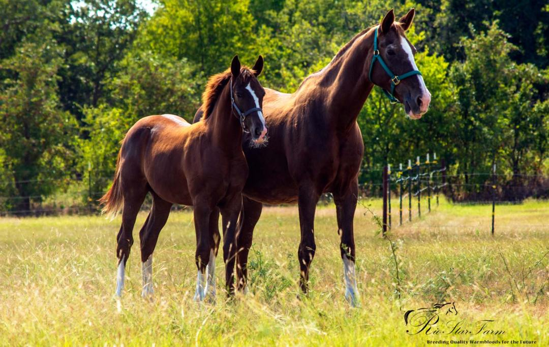 Orion RSF (Gaudi x Roemer) KWPN studcolt for sale