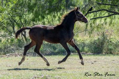 Picture of Pride of Rio Star (Gaudi SSF x Sir James)