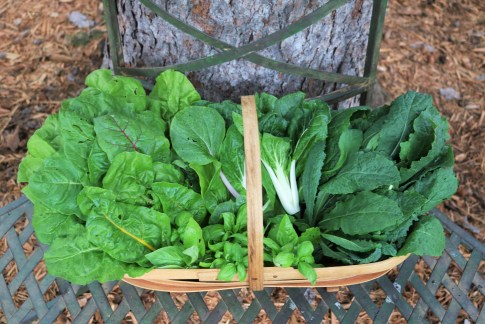 Garden greens. From left to right, Swiss Chard, basil, Bok Choy, and kale.