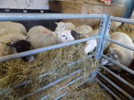 here are the school`s sheep