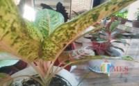 Pecinta Aglonema, Tips Ini Bisa Dicoba agar Tanaman Tumbuh Subur