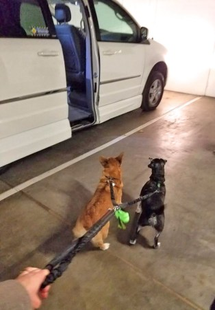 Elf and Opus meeting the Dodge wheelchair van for the first time, in our condo garage.