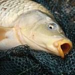 鯉のリスク