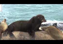 La Jolla Cove Seals, Sea Lions, and Birds