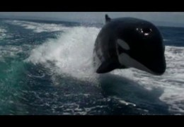 Killer Whales Swimming and Playing Like Dolphins