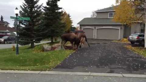 Two Moose Decided To Duke Tt Out Right In The Middle of Someone's Driveway