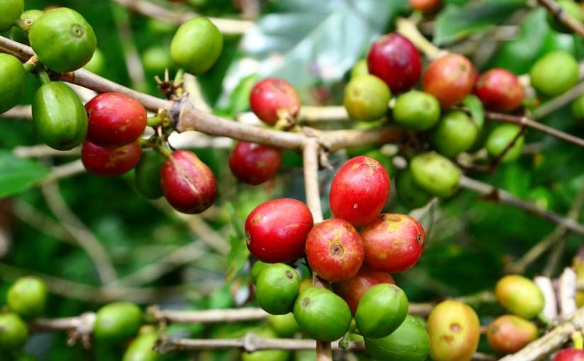 Kaffebønner og efterbehandling