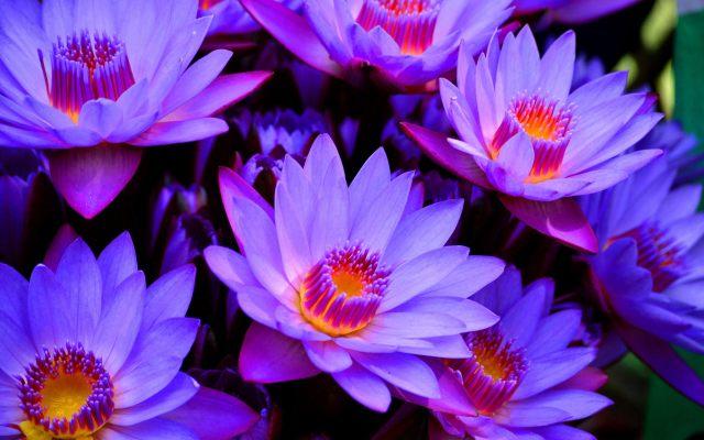 blue-lotus-flower-wallpaper