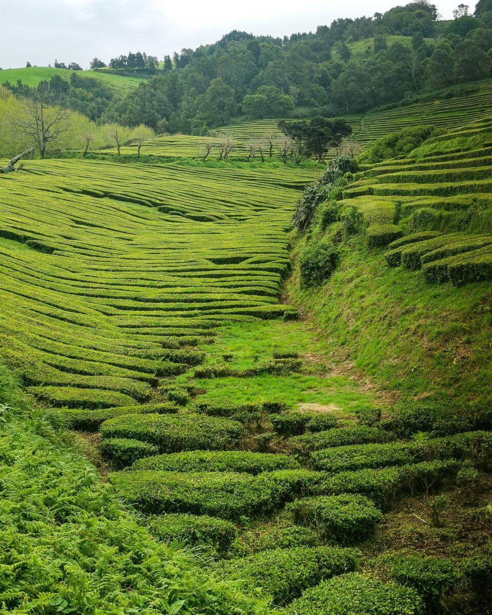 7. Le piantagioni di tè di Gorreana