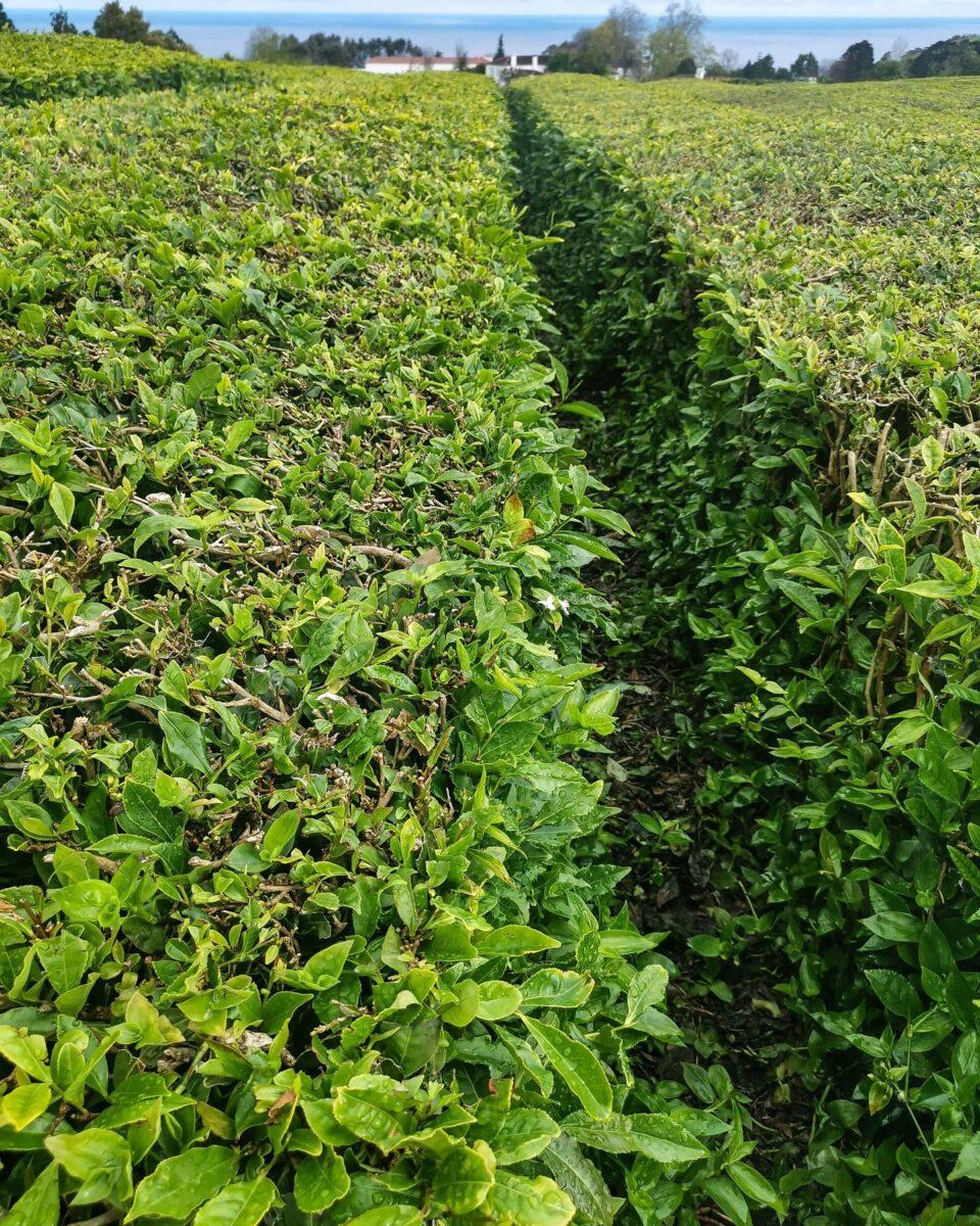 Le piantagioni di tè di Gorreana