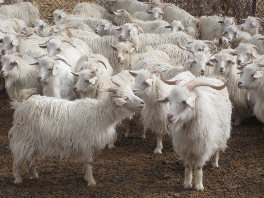 Think Before Getting Cheap Cashmere From China