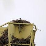 Nest eines Raubvogels auf einem hohen Radarreflektor mit Küken