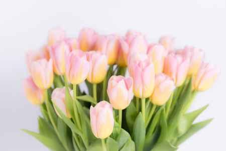 Tulpės Kovo 8-ajai