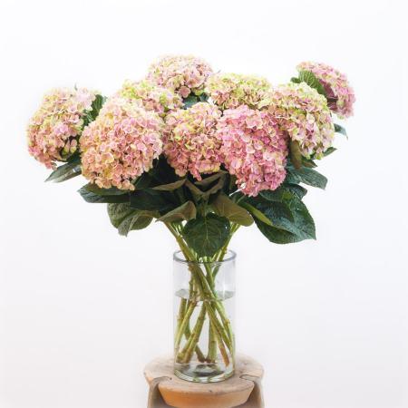 Pastelinės hortenzijos vazoje