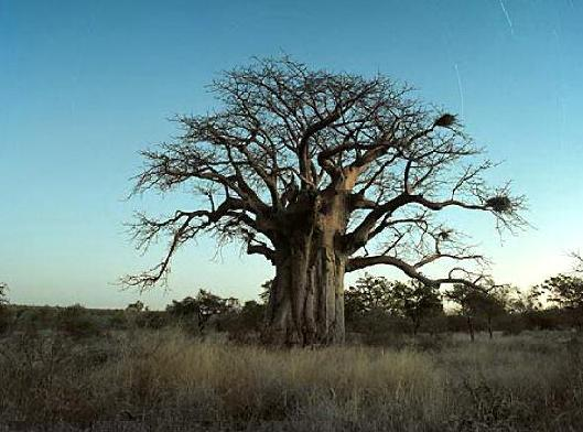 Baobab Tree at Limpopo Province, South Africa