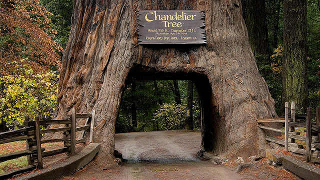 Chandelier Tree in California - One of seven amazing trees