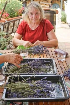 Rittergut Kleingera Lavendel zupfen für kleine Lavendelsäckchen