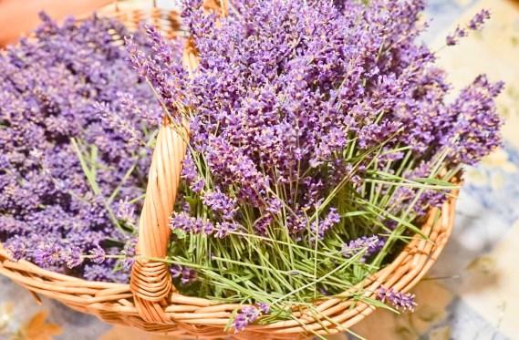 Rittergut Kleingera Lavendel geerntet