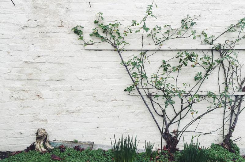 white wall, ivy, calm