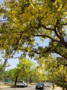 Amaltas trees in full bloom