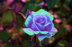 Valokuva ruususta, muokattu Photoshopilla