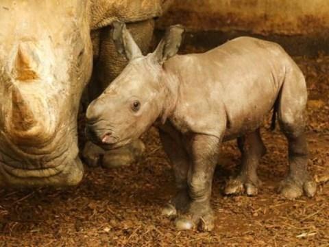 Loire-Atlantique : Naissance d'un bébé rhino blanc au zoo de la Boissière-du-doré