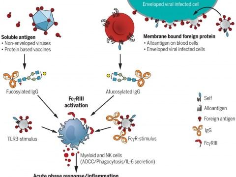 Afucosylated IgG는 외피 바이러스 반응을 특성화하고 COVID-19 심각도와 상관 관계가 있습니다.