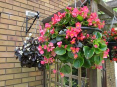 Hanging baskets of begonias - red, white, green and bronze